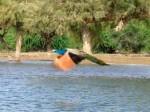 インド、空飛ぶ孔雀
