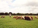 インドの羊飼い