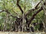 インド、バニヤンの大木