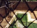 インド、動物園のワニ