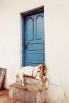 インド、バンガロールのヤギ