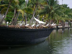 インド・アレッピからクイロンへの船旅で見られる鳥たち