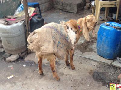 インド、服を着たヤギ