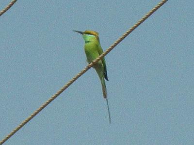 インドの鳥、ビーイーター