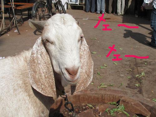 インドのヤギ
