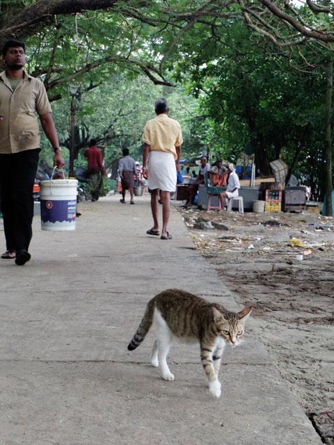 南インド、ケララ州、フォートコーチンのチャイニーズ・フィッシングネットそばでうろつく猫