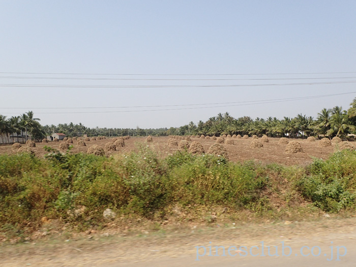 インド、グジャラートの落花生畑