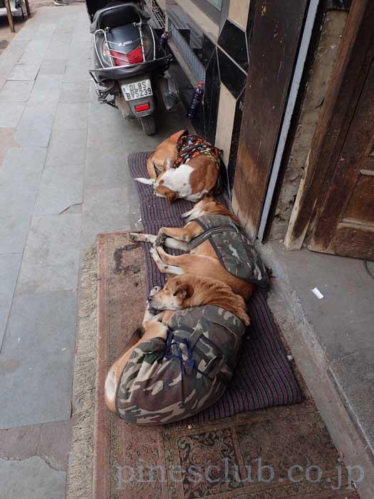 防寒着を着たインドの犬