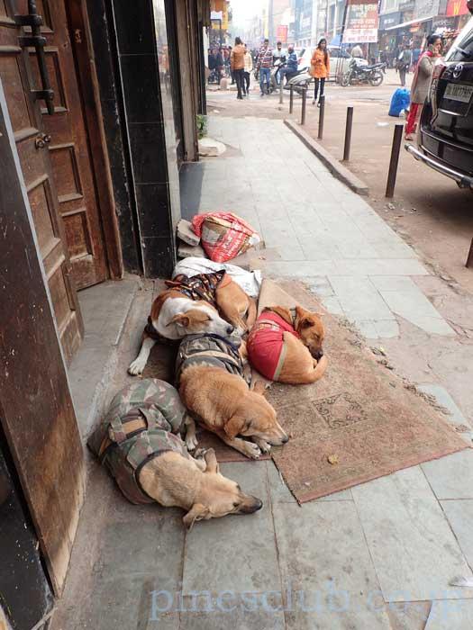 昼寝にいそしむインドの犬たち