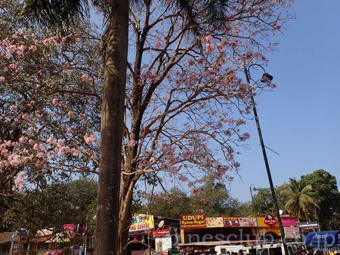 インドに咲く桜のような花