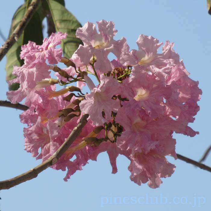 インドの桜のような花
