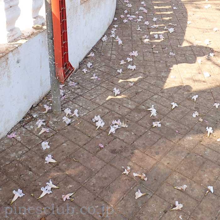 地面に落ちたインドの桜のような花