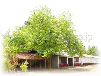 マウワの木