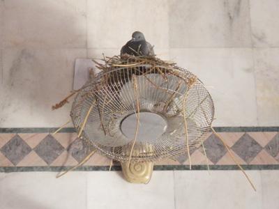 インド、ハトに占拠された扇風機